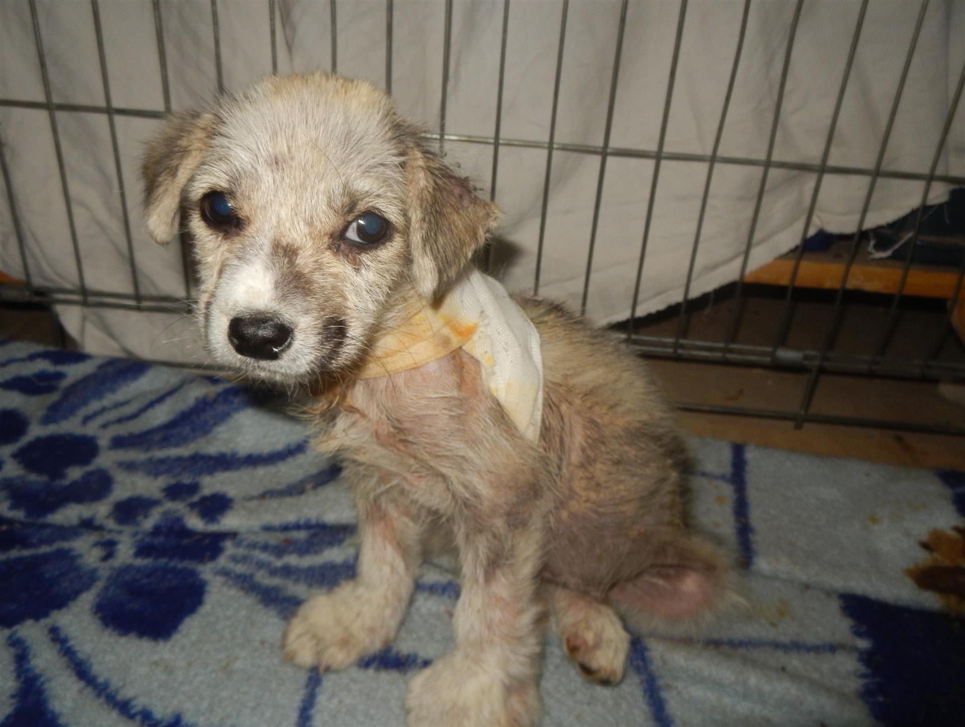 Klee - Small puppy receives help in the SUST Animal Orphan Hospital Hurghada, Egypt
